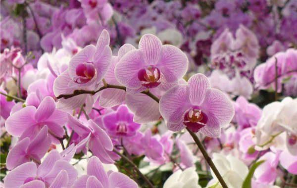 Les Orchidées de Michel Vacherot