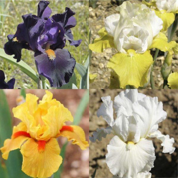 Pack Iris intermédiaires