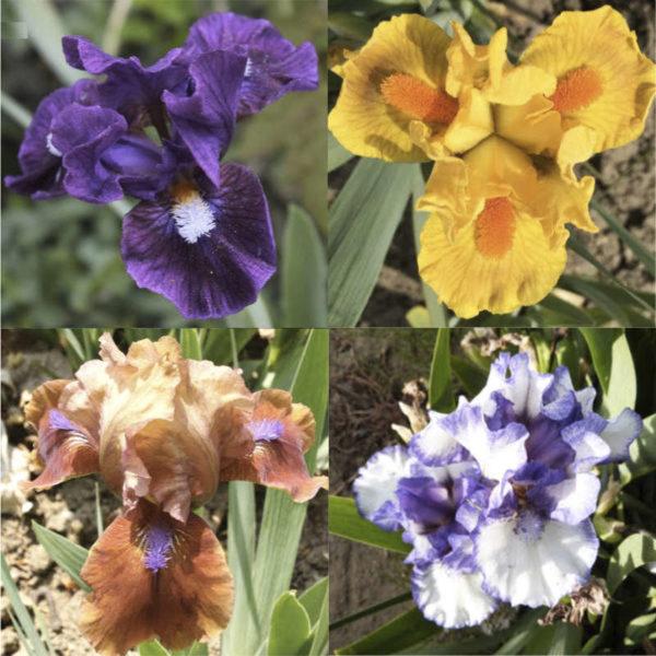 Pack iris nains