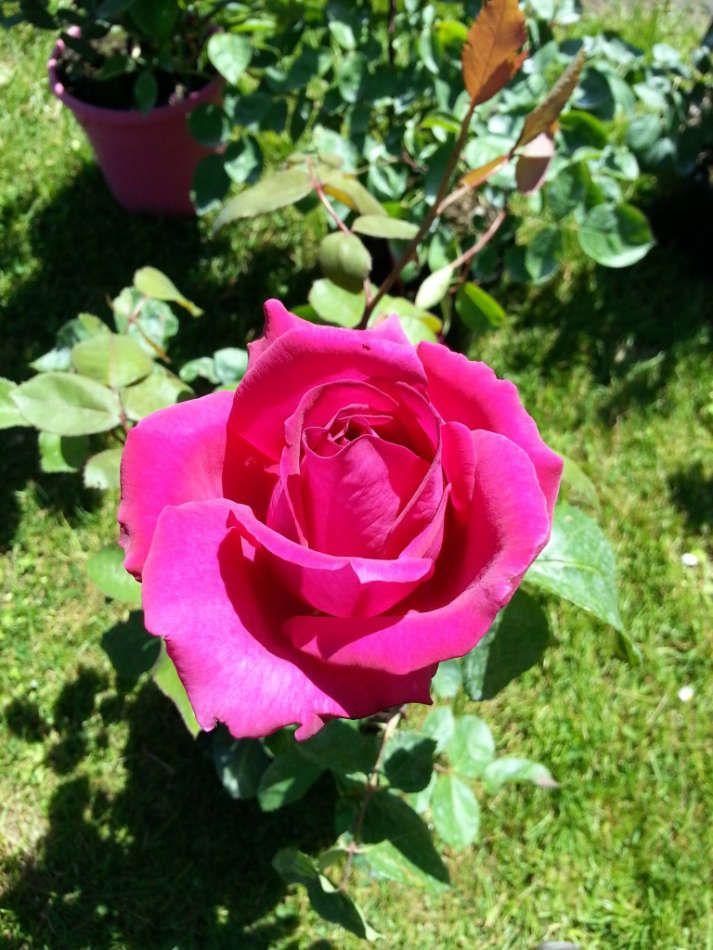 Les rosiers produits à la Jardinerie Poullain