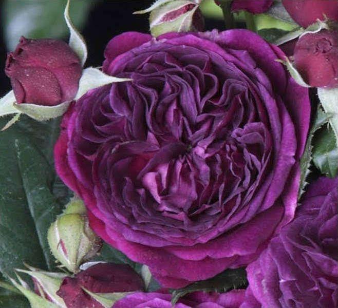 Rosier Purple Lodge