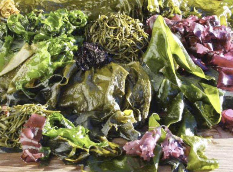 Algues fraîches