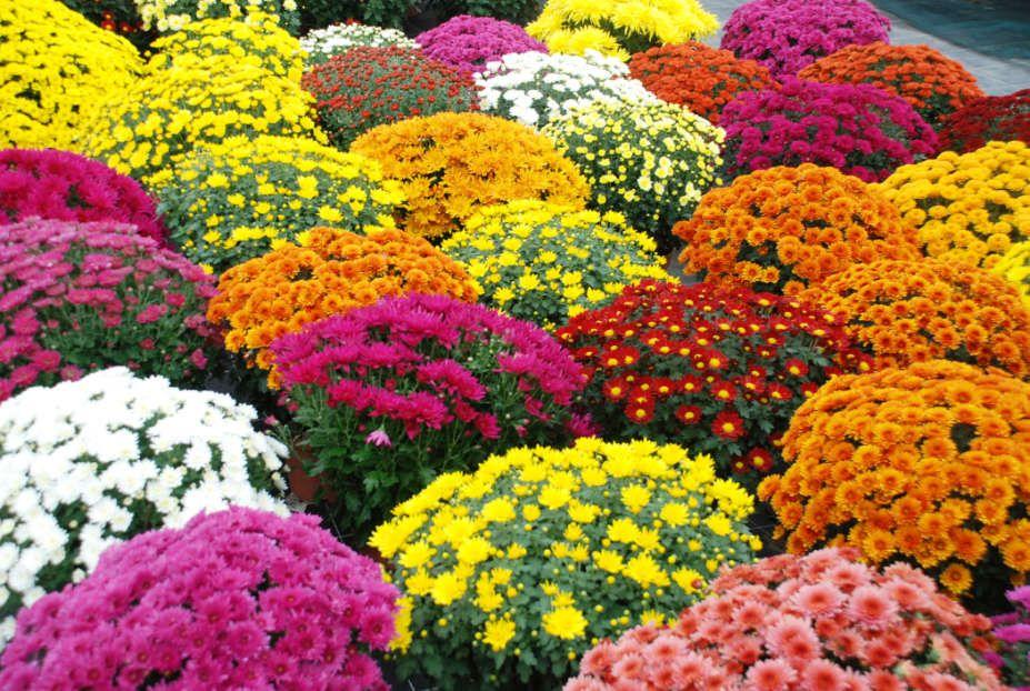 Les chrysanthèmes du Temps des Fleurs
