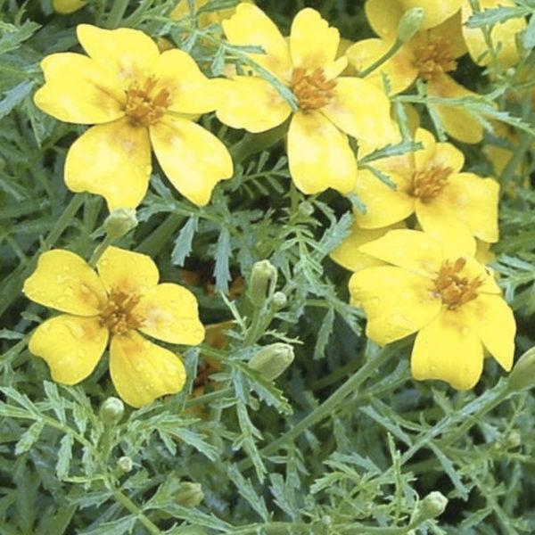 Tagète citron du Pack fleurs comestibles