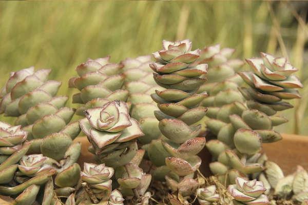 Plante succulentes genre Crassula