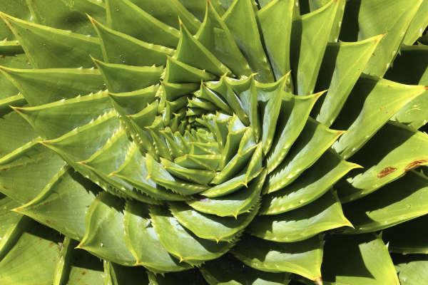 La belle forme graphique des Aloe