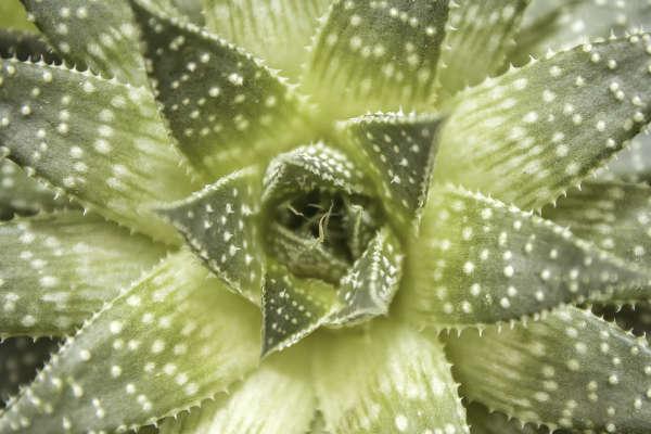 Plante succulente Haworthia