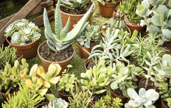 Les succulentes : des plantes étonnantes, faciles et décoratives