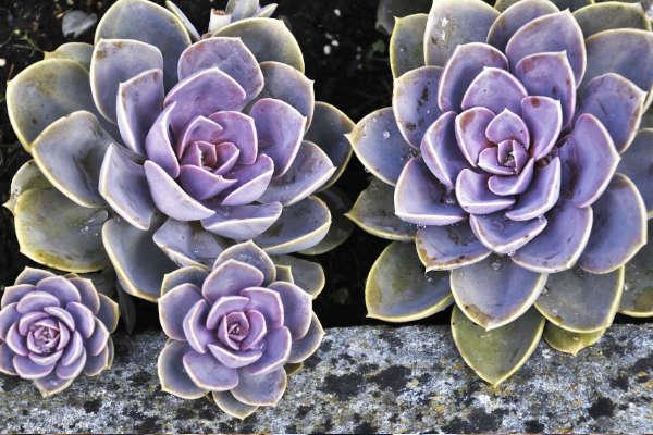 Les plantes succulentes