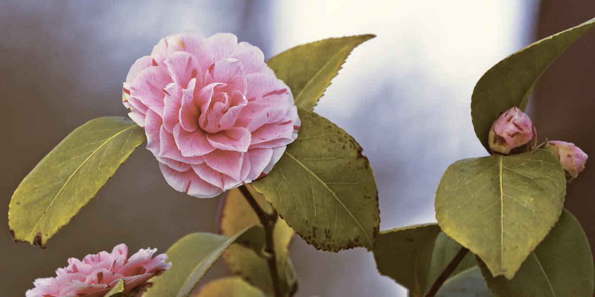 Le camélia du Japon ou Camellia Japonica