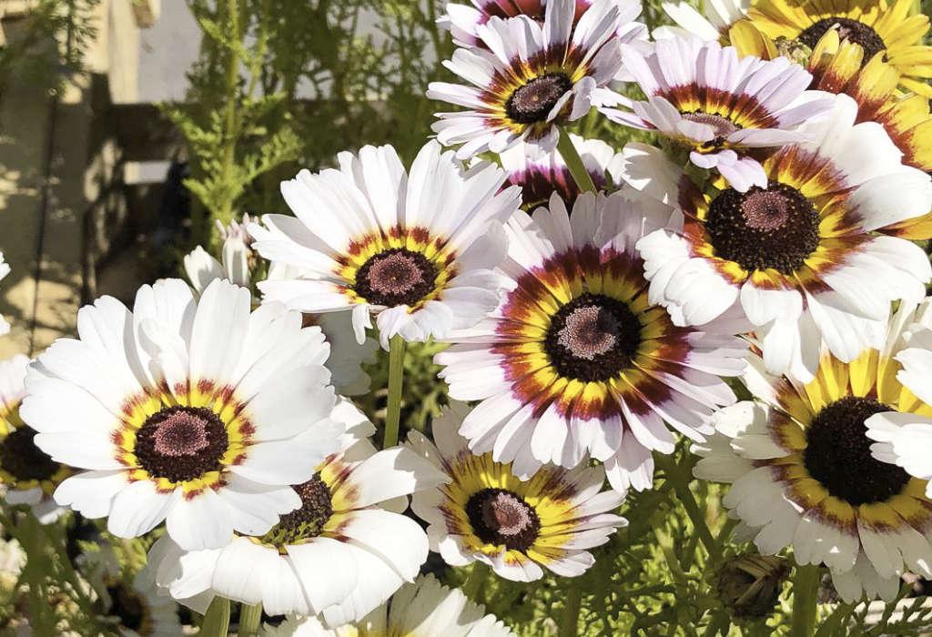 Chrysanthèmes à carène