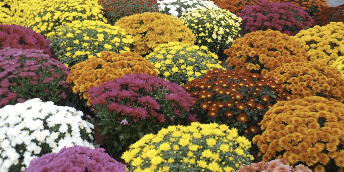 Les chrysanthèmes : un festival de couleurs au coeur de l'automne !