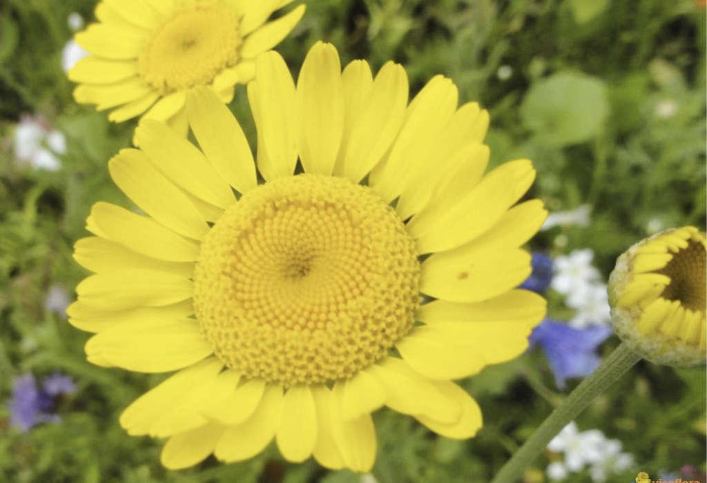 Chrysanthèmes des moissons