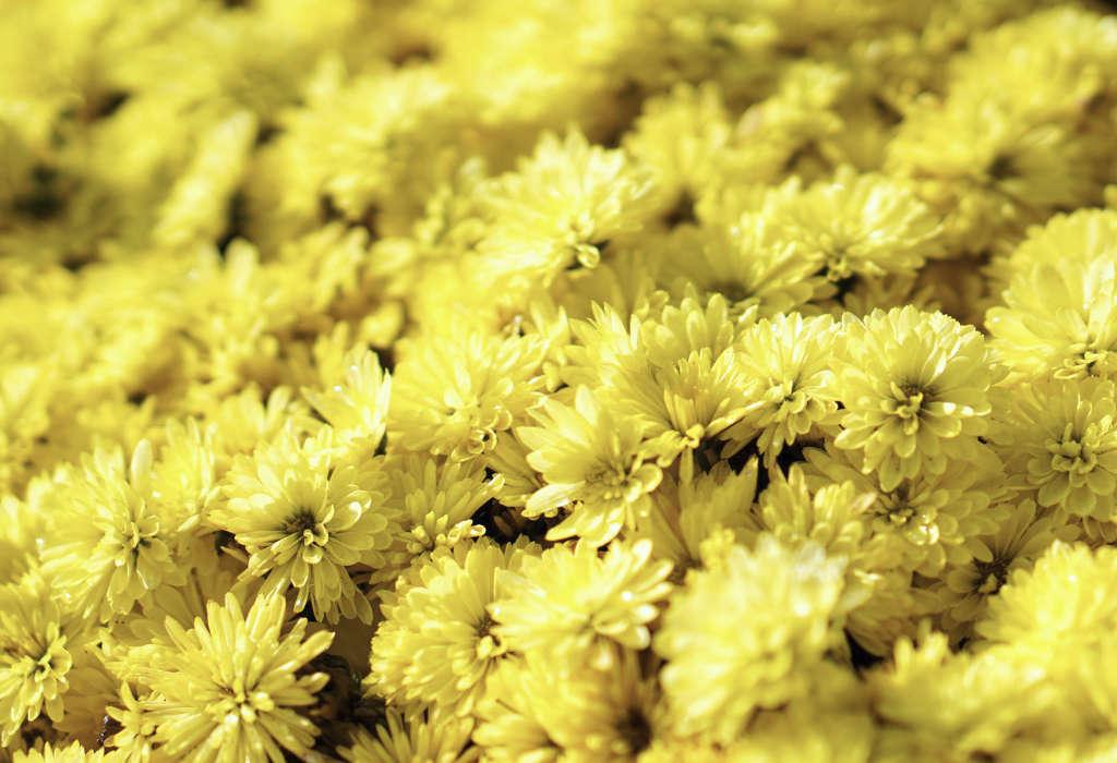 Chrysanthèmes des fleuristes