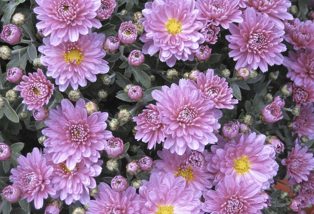Chrysanthèmes hybrides