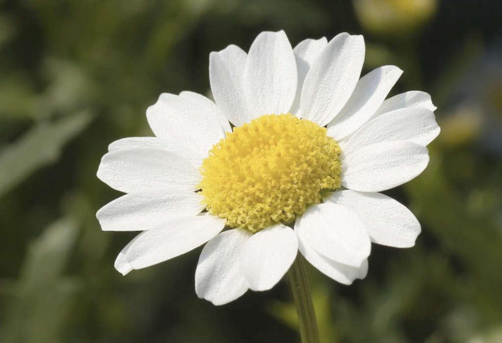 Chrysanthèmes Paludosum