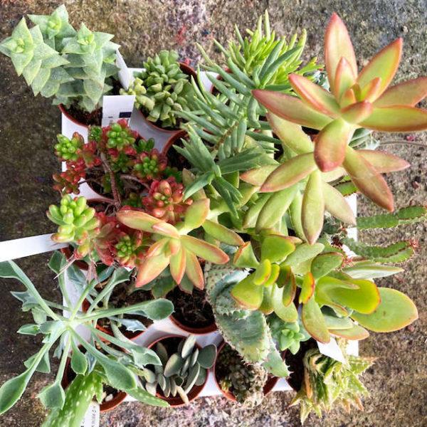 Pack de 10 succulentes