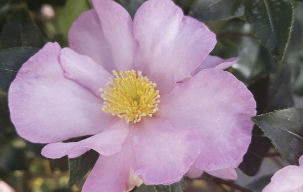 Le camélia d'automne ou Camellia Sasanqua
