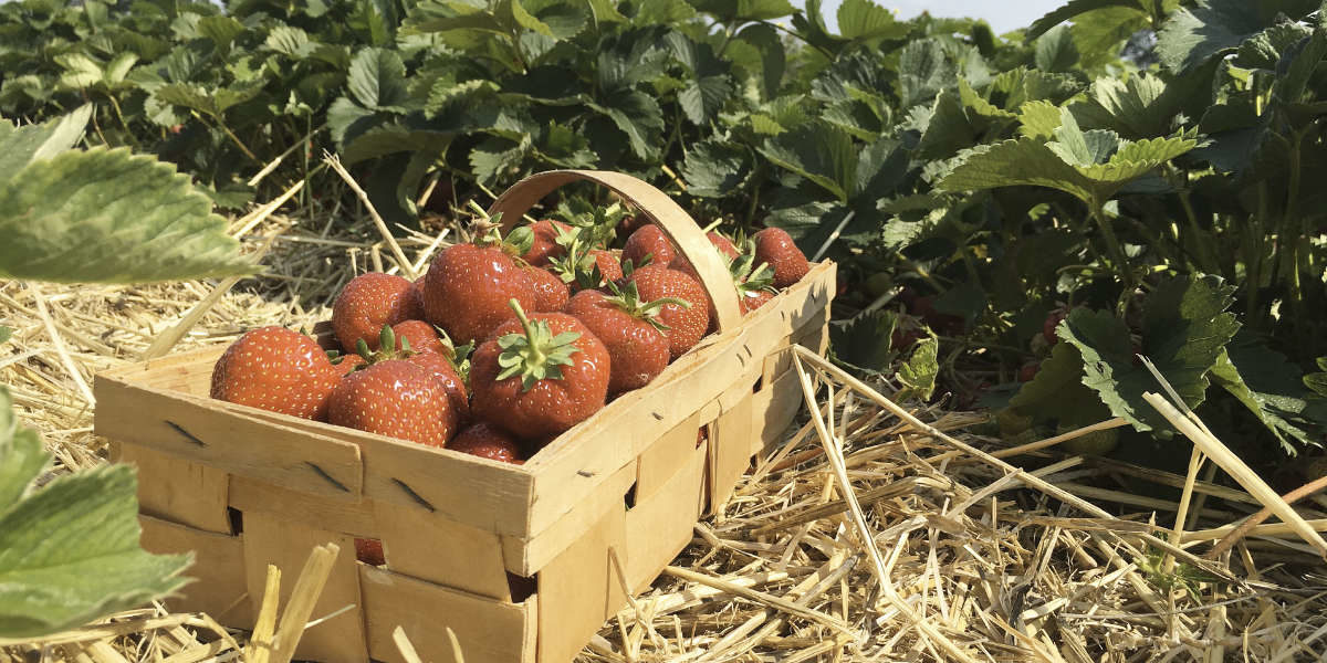 Comment bien cultiver les fraisiers