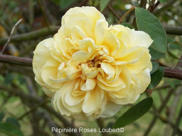 Duchesse Auerstadt