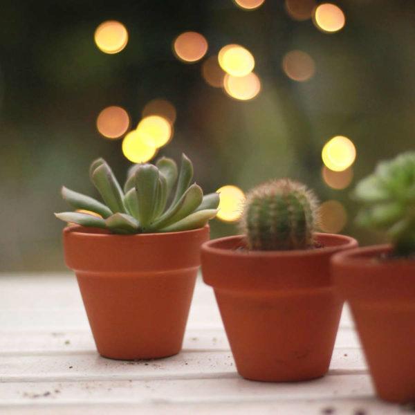 Cactées et succulentes en pot