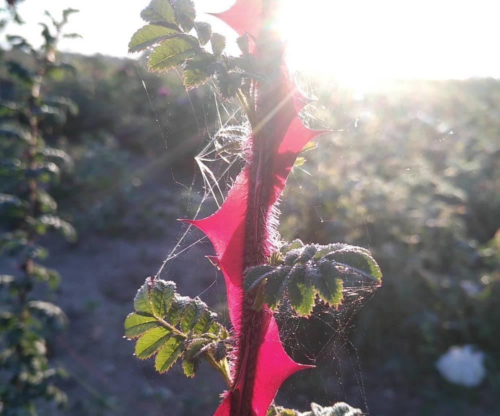 Les aiguillons translucides du rosier omeiensis pteracantha