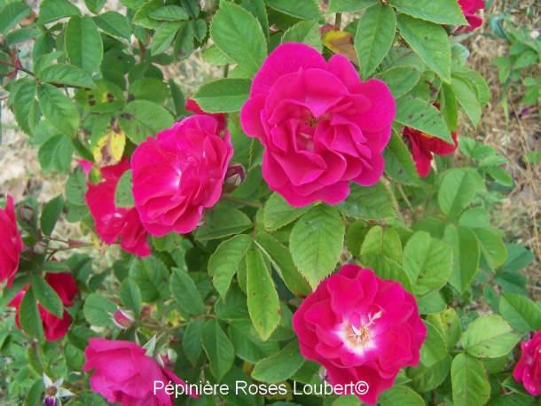 Rosa aschersoniana