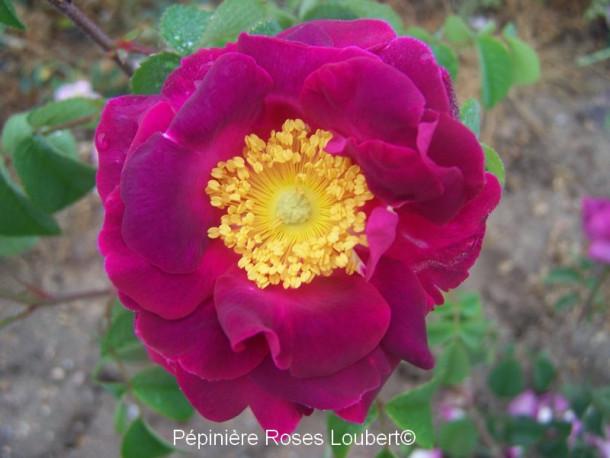 Rosa Belle Sultane