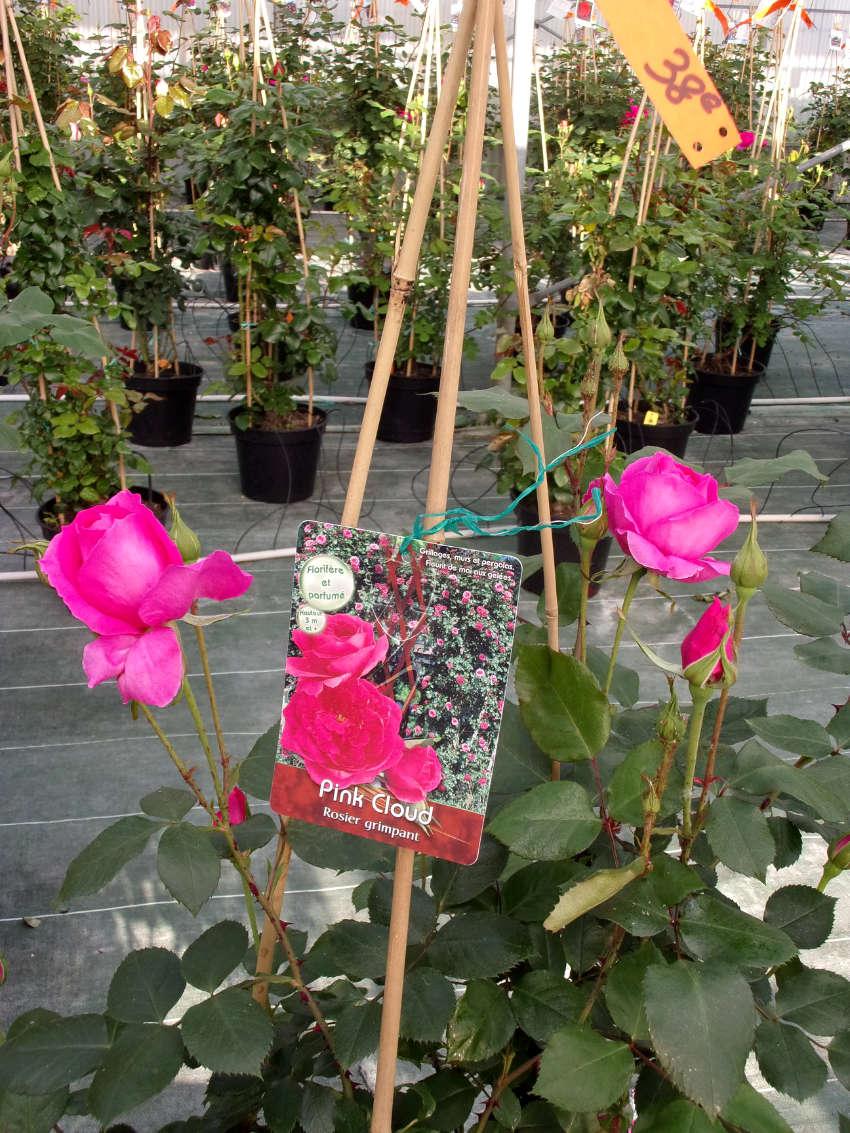 Les rosiers de la pépinière Au Panier Fleuri