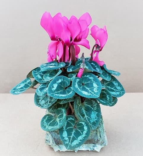 Mini-cyclamens rose