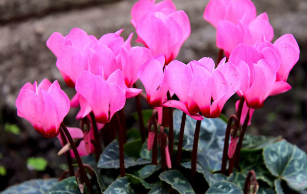 Les mini-cyclamens : de jolies fleurs au coeur de l'hiver