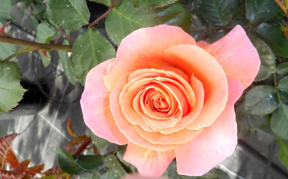Les roses de la pépinière Au Panier Fleuri