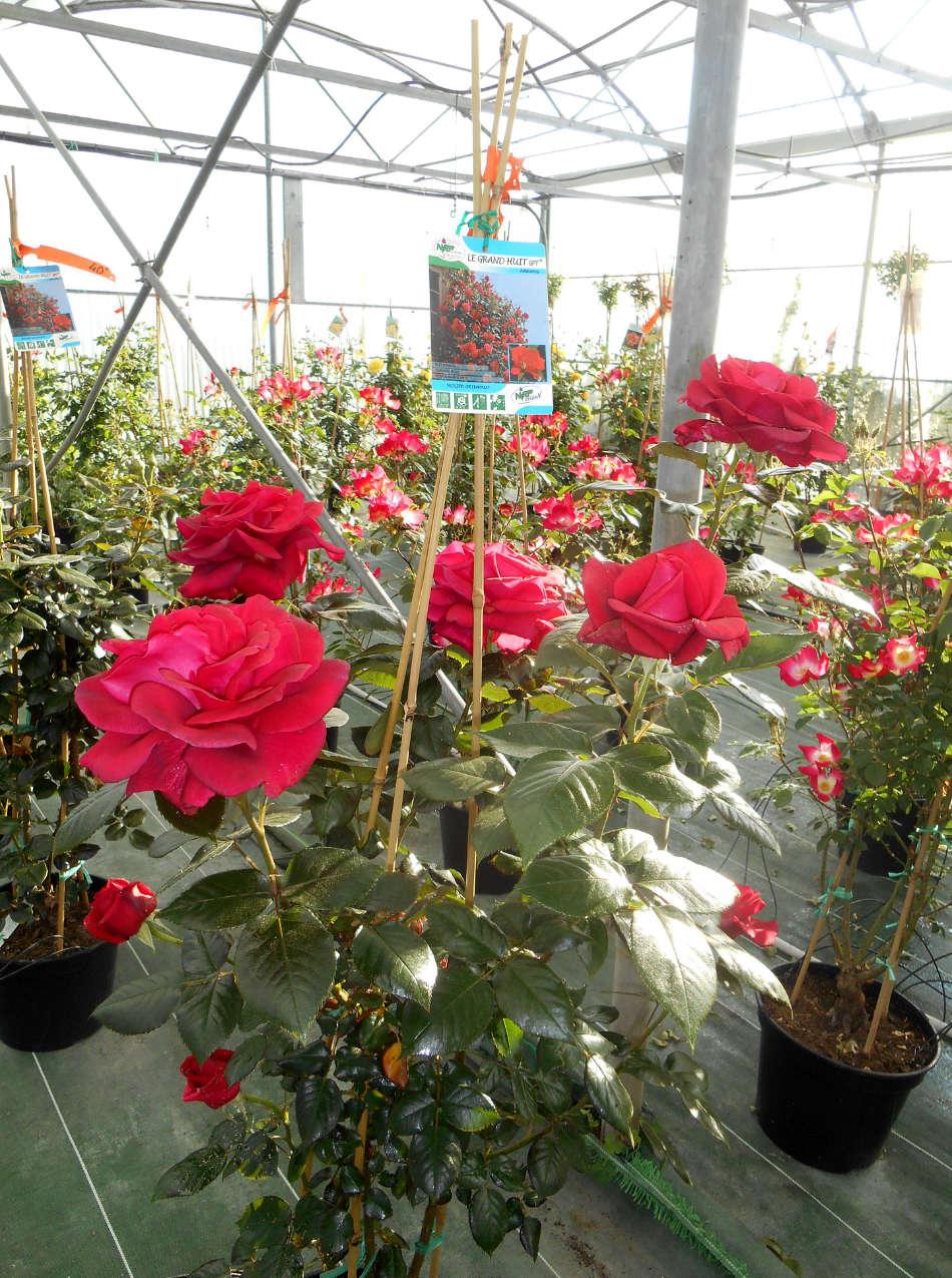 Les rosiers rouges en fleurs