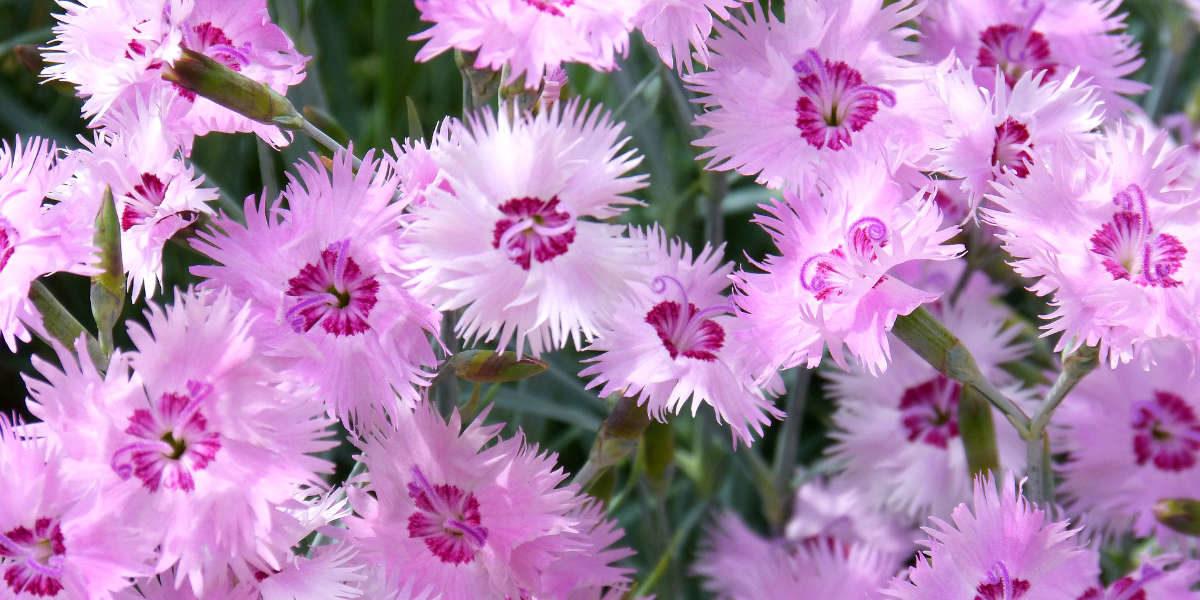 Les œillets : des fleurs de toute beauté, faciles à cultiver