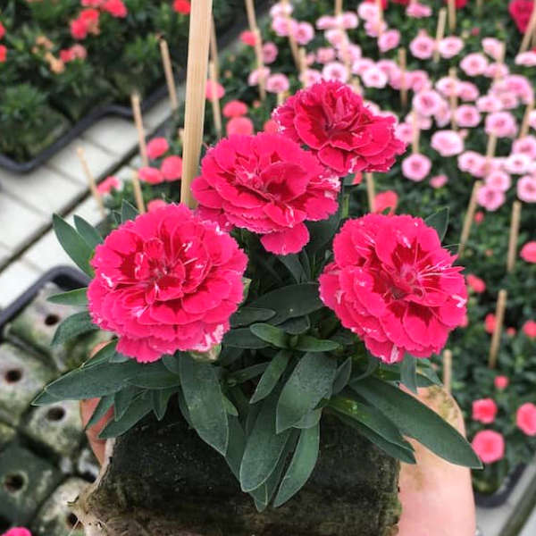 Dianthus caryophyllus rose