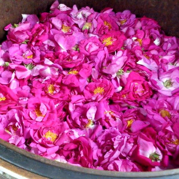 Préparation de l'eau florale de rose