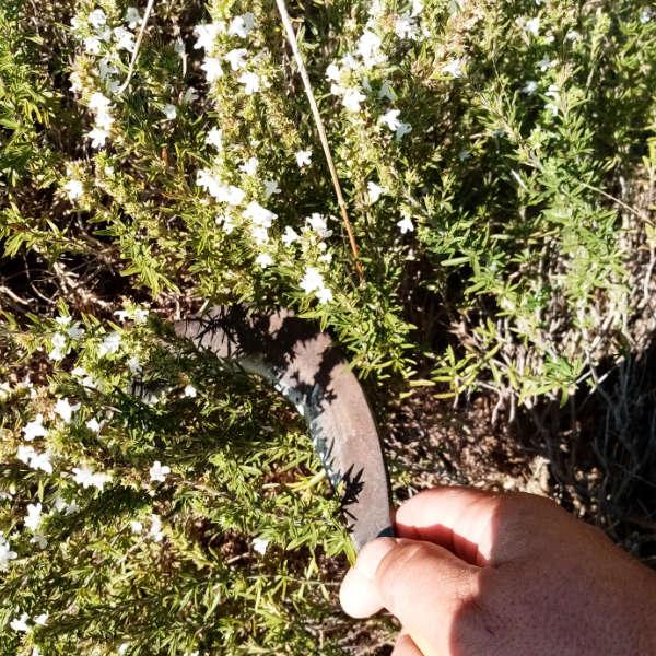 Récolte de la sarriette