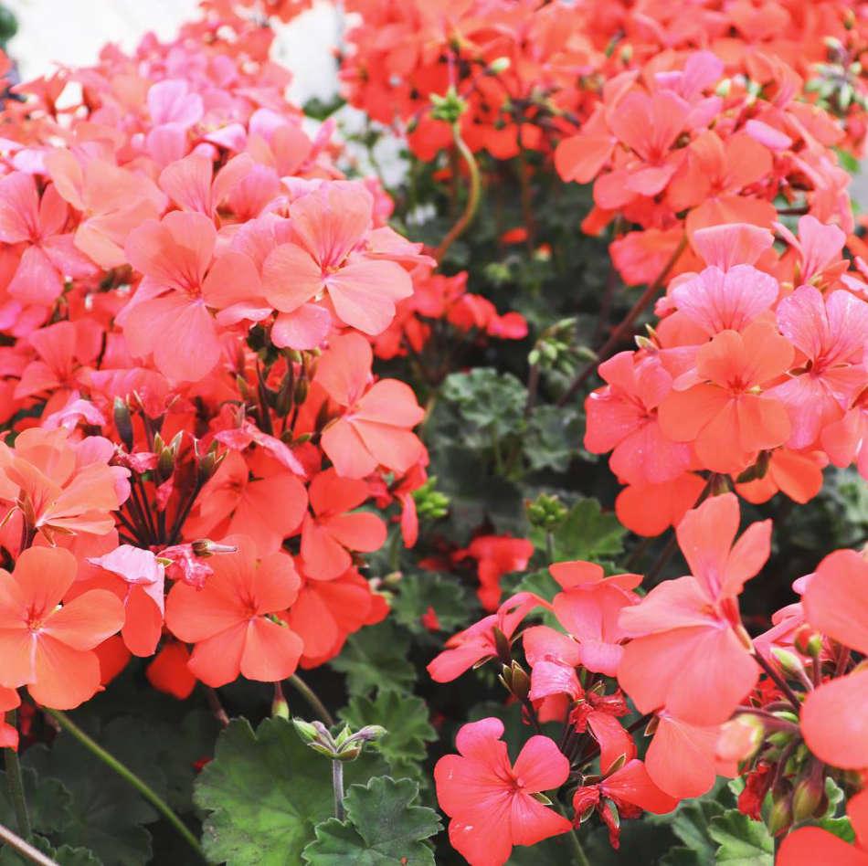Les fleurs de saison de la jardinerie Jaïa Balaruc-le-Vieux