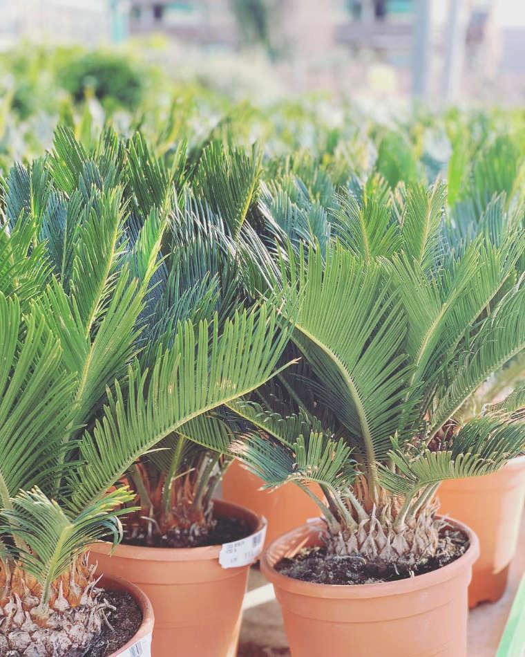 Les palmiers de la jardinerie Jaïa Balaruc-le-Vieux