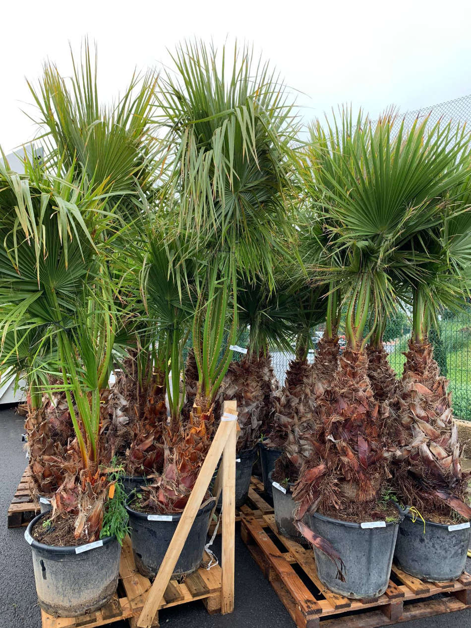 Les palmiers de la Jardinerie Jaïa