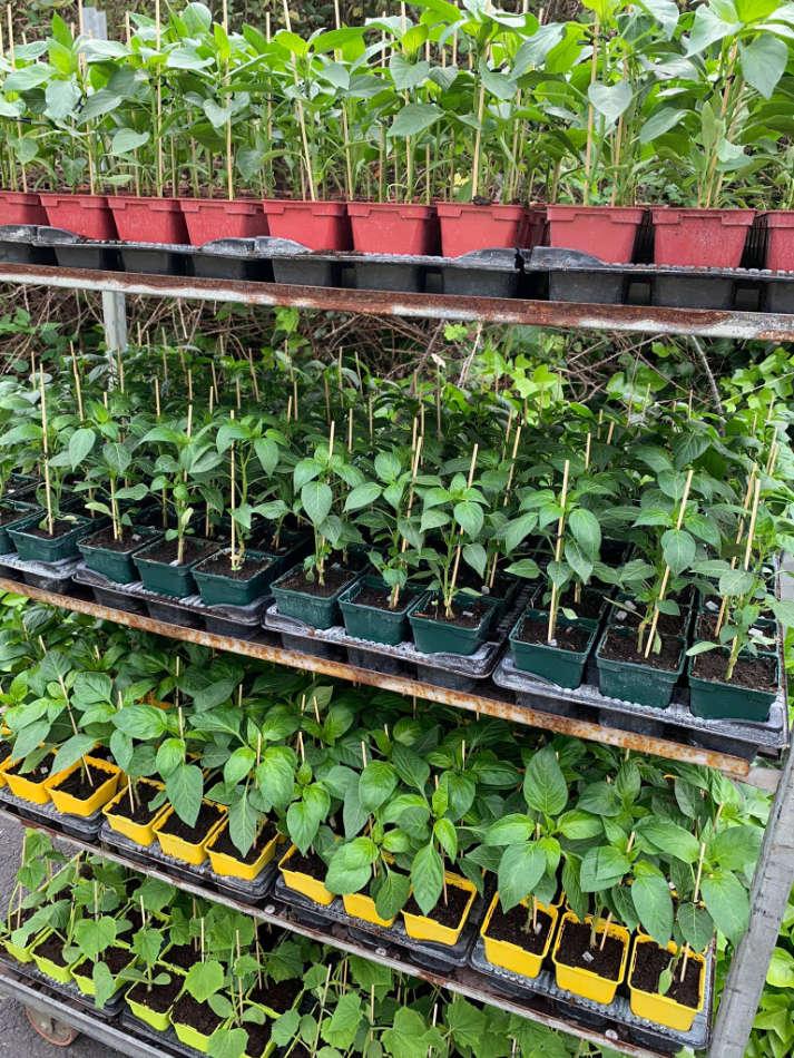 Les plants potagers