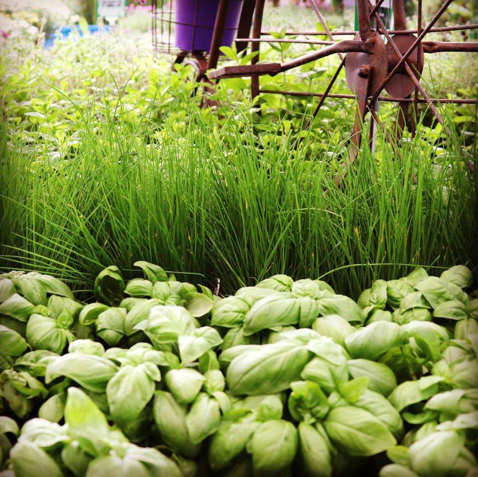 Les plants potagers de la jardinerie Jaïa Balaruc-le-Vieux