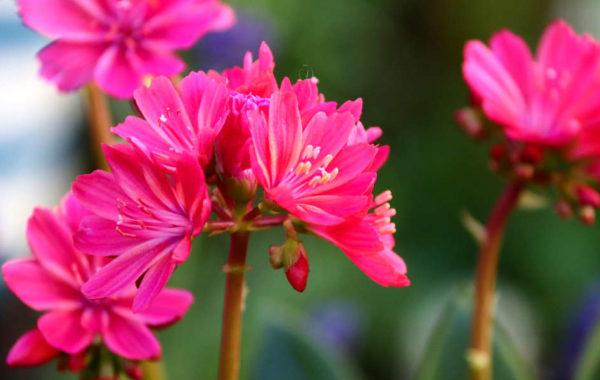 Le lewisia : une succulente à la floraison spectaculaire
