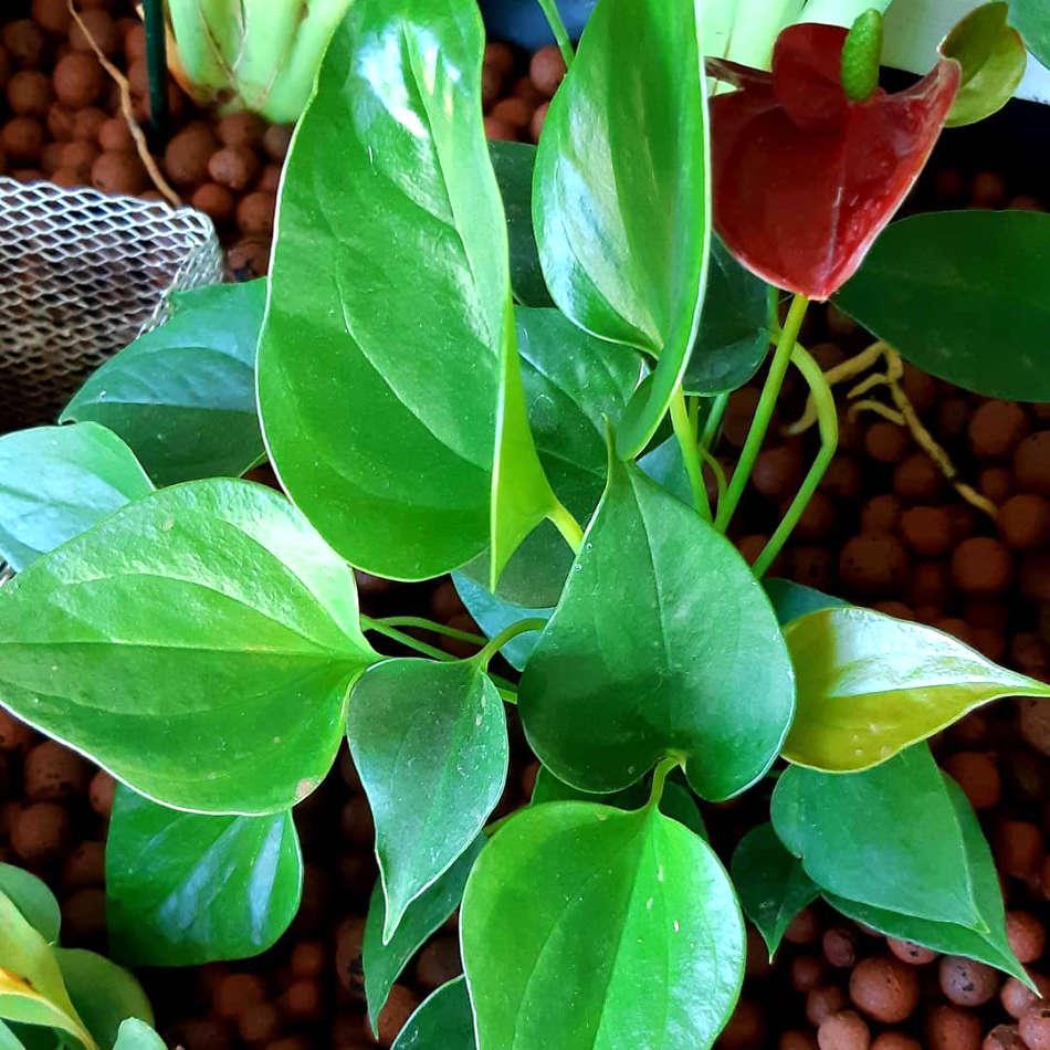 Les plantes cultivées en aquaponie