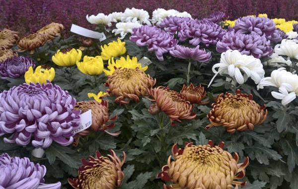 Les chrysanthèmes de la jardinerie Une saison au jardin