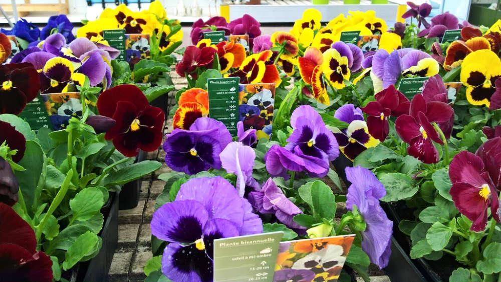 Les plantes fleuries de saisoon