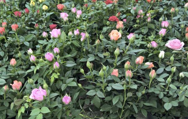 Les rosiers de la jardinerie Une saison au jardin