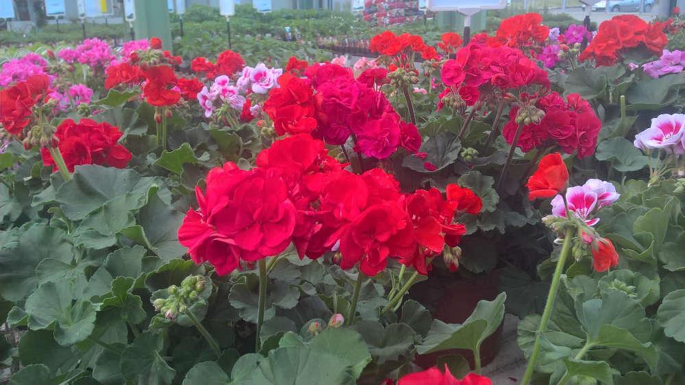 Les plantes fleuries de la jardinerie Une saison au jardin
