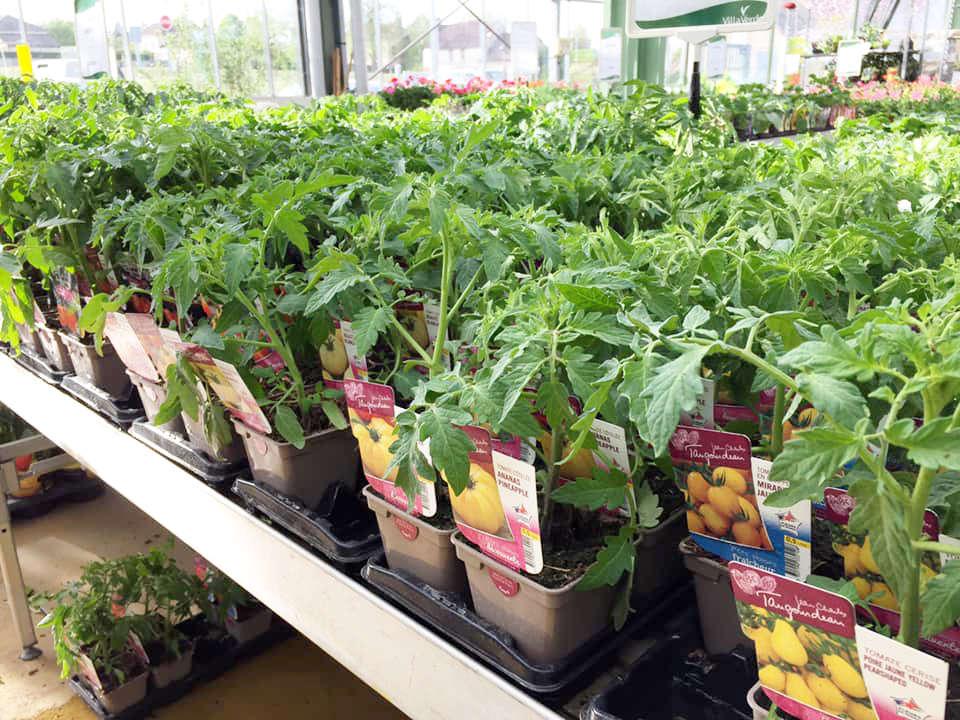 Les plants de tomate de la jardinerie Une saison au jardin
