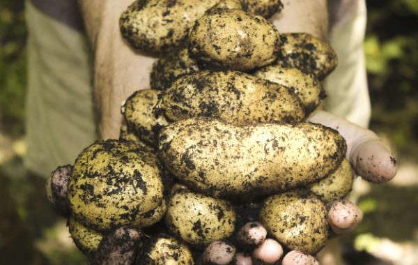 Récolte de plants de pommes de terre